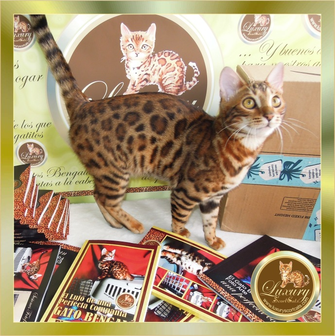 bengal cat puppy, bengal kitten, bengal kittens, books about the bengal cat