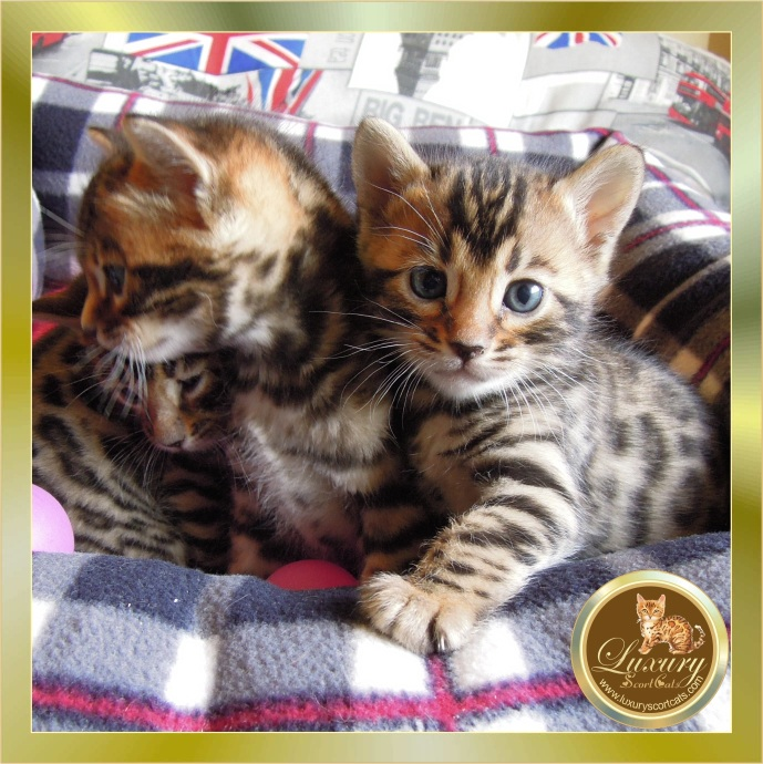 bengal kittens puppies breeding bengal cats, price bengal kittens, buy bengal kittens, sale bengali kittens, nice bengal kittens cute