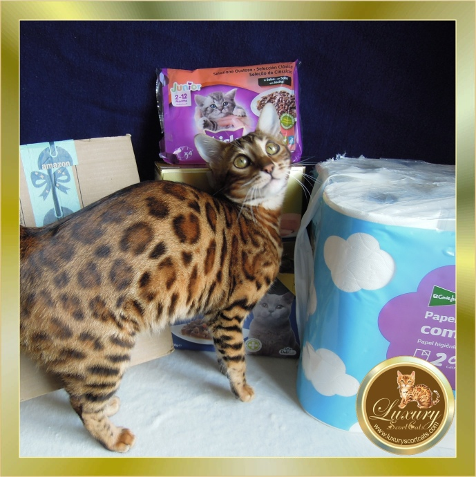 Bengal cat food, Bengal cat feed, Bengal cat water, Cantabrian cat club, world cat federation, Bengal cat with donut rosettes great contrast excellent pedigree