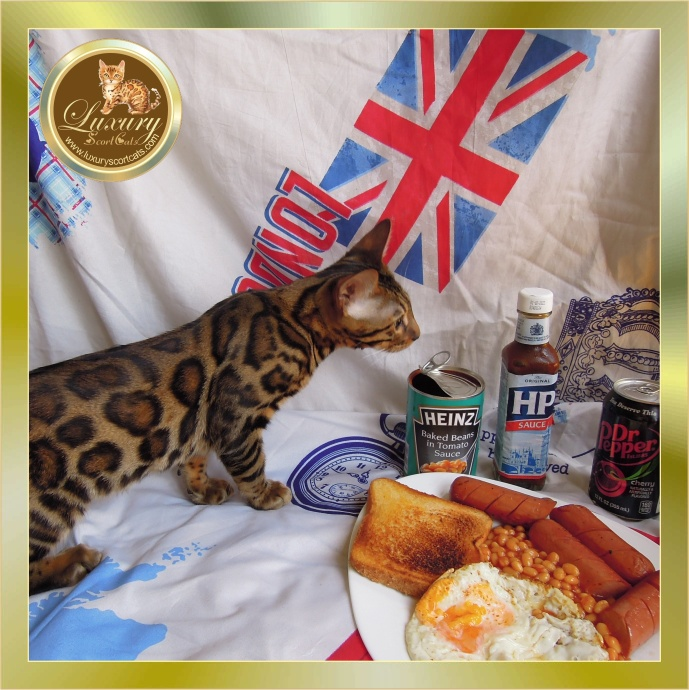 all day breakfast, hp sauce, dr pepper, el corte inglés gatos, marks and spencer cats, amazon bengal cat, costa del sol cats, miniature leopard, bengal cat, exotic cats, bengali cat adapted to urban housing. sale in Spain of bengali kittens, buy bengali cats price. Marbella feline cattery. luxuryscortcats.