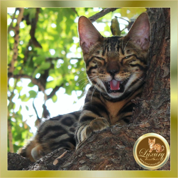 Bengal cat smiling, Bengal cat laughing, Bengal tree cat, Bengal cat with doughnut roses great contrast excellent pedigree, Lord Nelson de Shankara bengalíes, club felino del Cantábrico, world cat federation