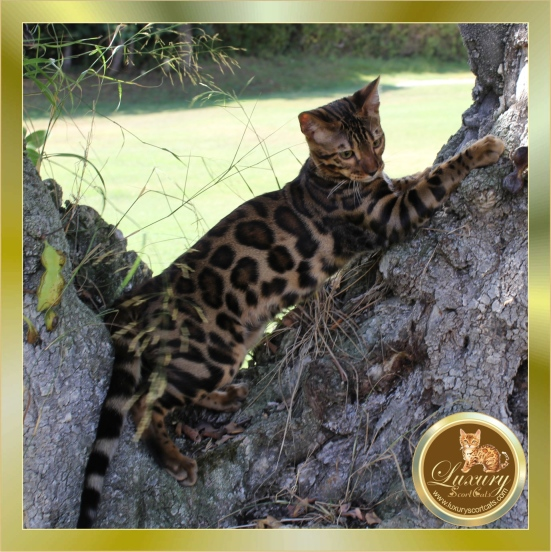 Selling un-pedigree Bengal kittens is risky for the health of Bengal kittens, buying a guaranteed Bengal kitten is cheap