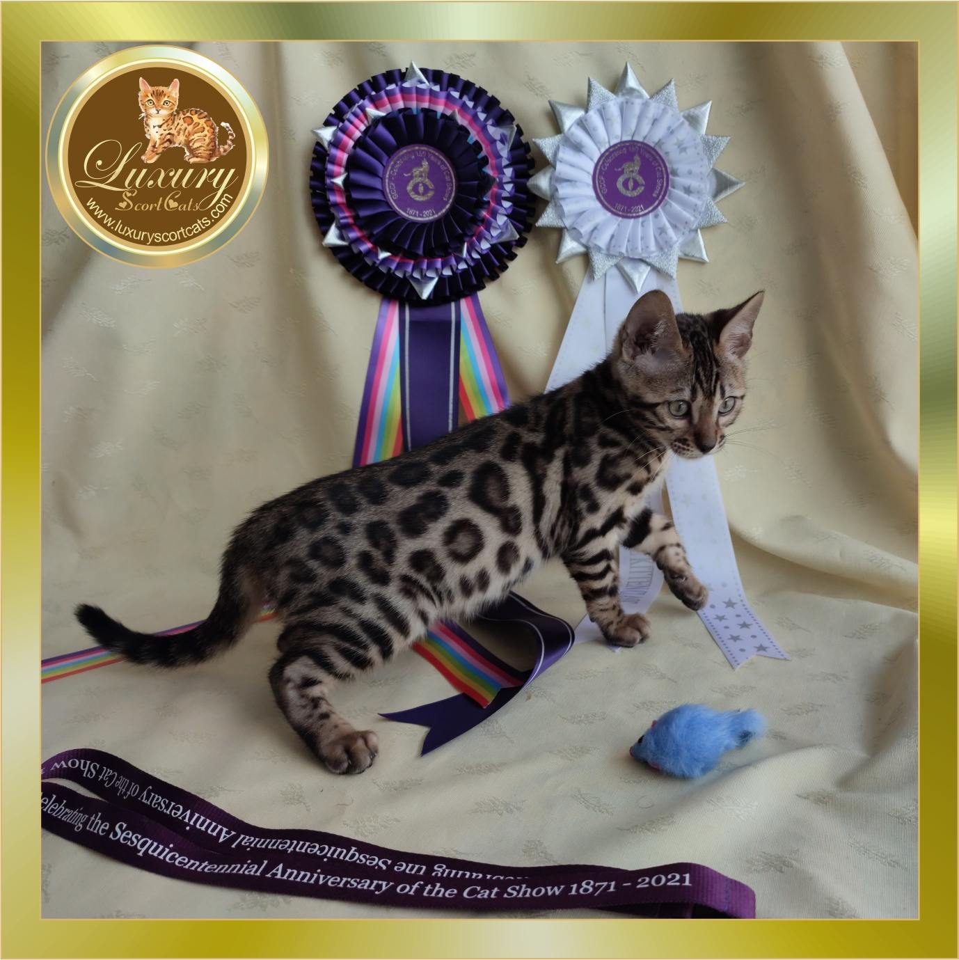bengal chaton authentique, race bengal standard, chat bengal authentique, pedigree, acheter chat bengal, chatterie bengal, prix du chat bengal, vendre chatons bengal, conseils chat bengal, acheter chatons bengal, prix chatons bengal, chatons bengal, race chat bengal, chatons bengal à vendre, prix chaton bengal, achat chatons bengal, chiots chat bengal, acheter chaton bengal, chat bengal économique